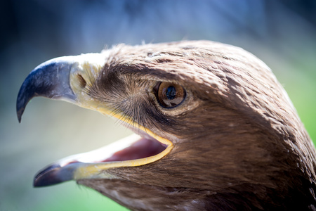 Portrait of an eagle in a park in nature
