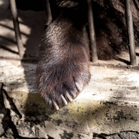 Paw of a bear behind a metal fence at the zoo . Stock Photo