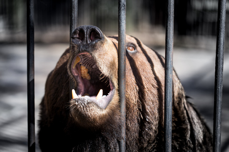 Bear behind the metal fence at the zoo . Stock Photo