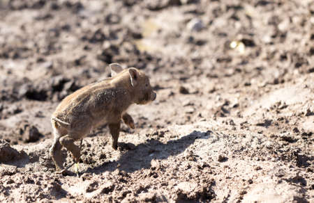 Little pig in the mud on the nature