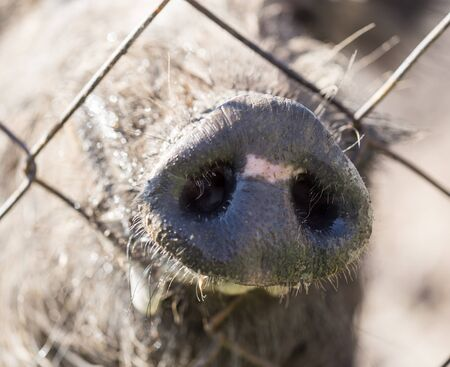 wire fence: Boar behind a metal fence in the zoo