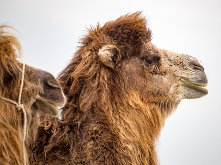 Portrait of camel on nature in spring . Stock Photo