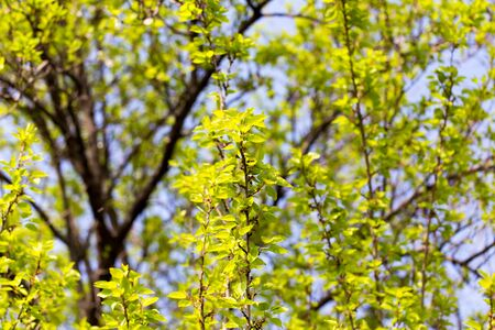 tilo: Small green leaves on a tree in spring .
