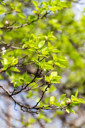 Small green leaves on a tree in spring .
