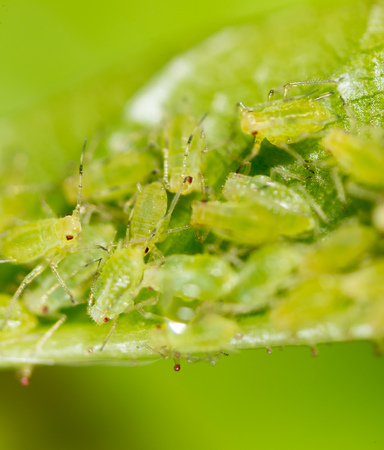 A small aphid on a green plant. macro
