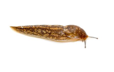 Slug snail isolated on white background. macro Reklamní fotografie - 79054937