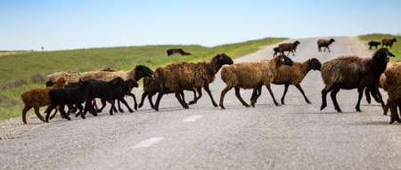 A herd of rams cross the road . Stock Photo