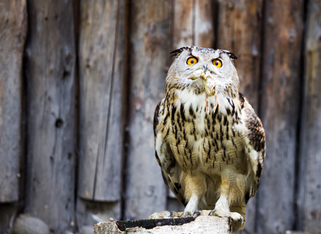 Portrait of an eagle owl at the zoo . Stock Photo