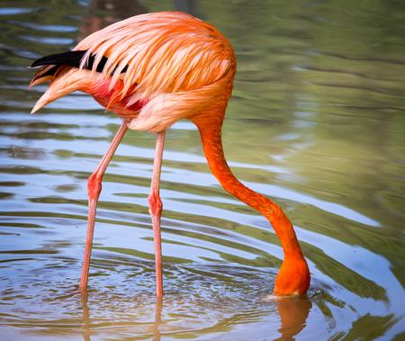 Flamant rose sur un étang dans la nature. Banque d'images - 80316772