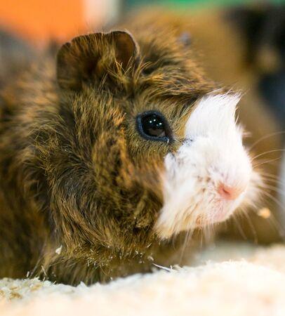 cavie: Portrait of guinea pig at the zoo . Archivio Fotografico