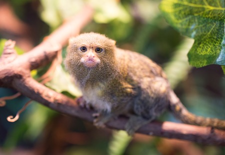 marmoset: The smallest monkey in the nature at the zoo