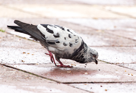 Dove jumping on the sidewalk in the city Stock Photo