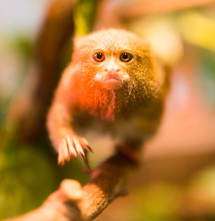 The smallest monkey in the nature at the zoo