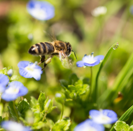 nectar: Bee on little blue flowers in nature .
