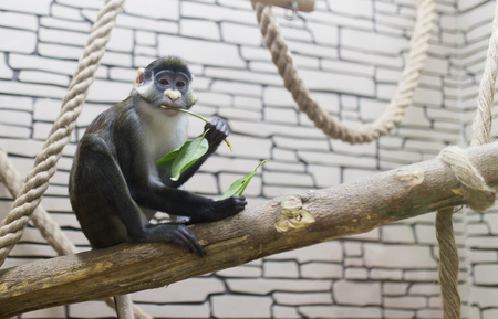 Monkey eats green leaves at the zoo Stock Photo