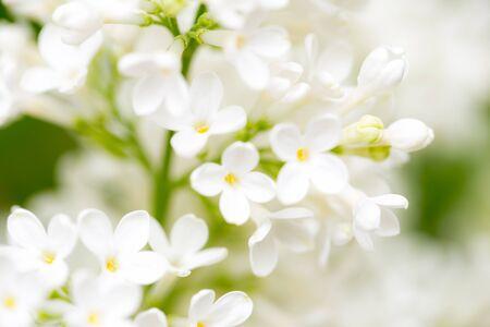 White flowers of lilac on nature macro stock photo picture and stock photo white flowers of lilac on nature macro mightylinksfo