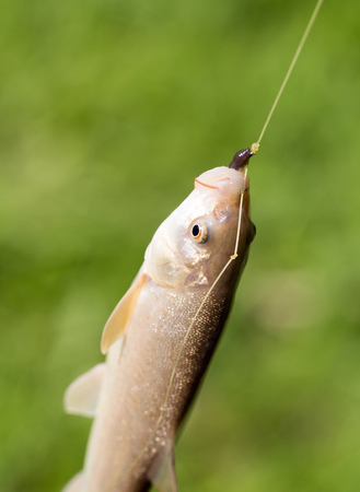 silver perch: Fish caught on the hook in nature Stock Photo