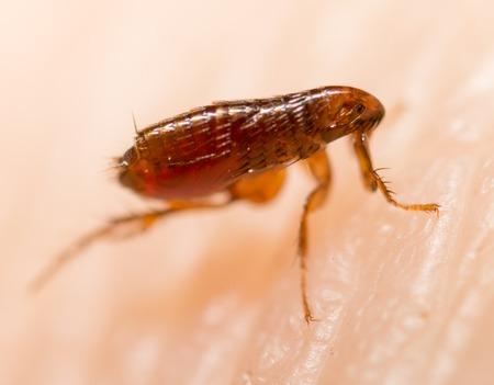 Flea on a human skin. Super macro