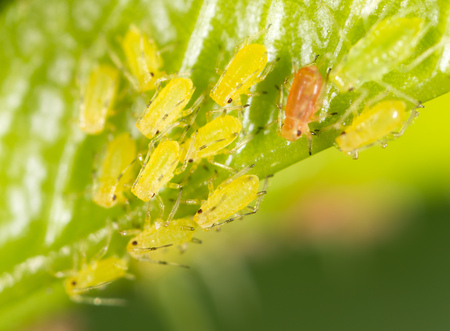 piojos: Aphids on a green leaf in nature. macro