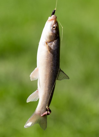 Fish caught on the hook in nature Stock Photo