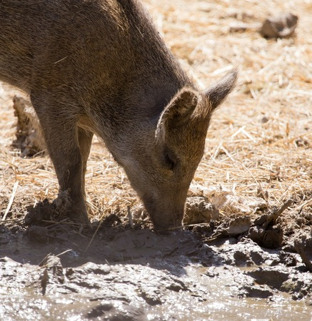 A young wild boar lives in the zoo