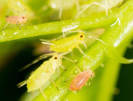 piojos: Áfidos en una hoja verde en naturaleza. macro Foto de archivo