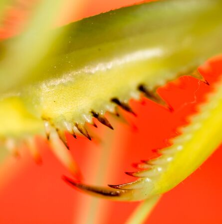 The paw of a green mantis in nature. macro Stock Photo