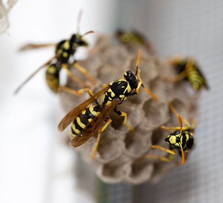 human settlement: The wasp sits on an aspen. macro