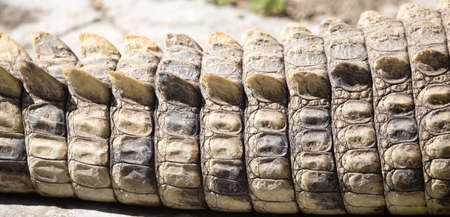 Spikes on crocodile skin in the zoo as a background