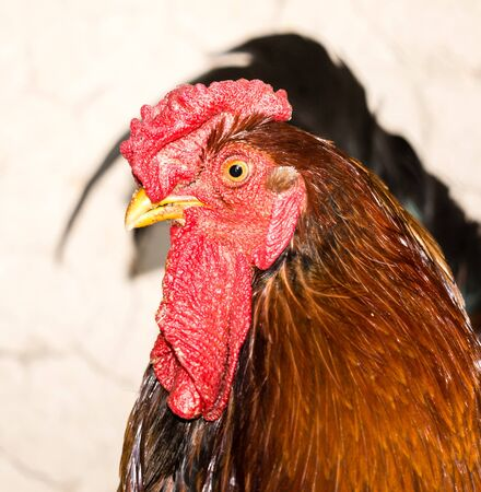 Portrait of a cock on a farm .