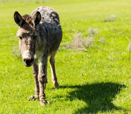 A donkey grazes pasture in a field with grass . Stock Photo