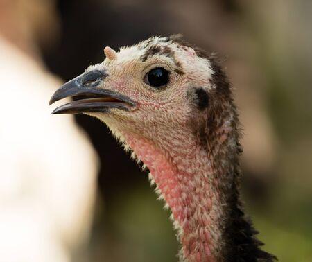 background: A young turkey on a farm in nature Stock Photo
