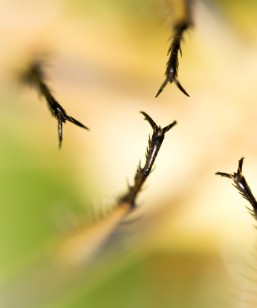 Spikes on the clutches of a dragonfly. macro