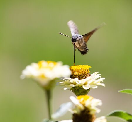 background: Butterfly in flight gathers nectar from flowers .