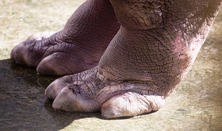 Foot hippopotamus on concrete in the zoo Stock Photo