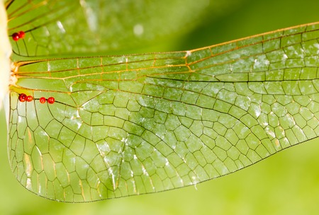 cigarra: Wings of a dragonfly as a background. macro