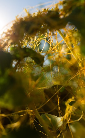 Yellow grass parasite on a plant in nature . Stock Photo