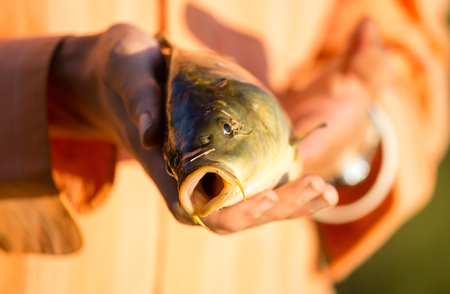 Carp in the fishermans hand at sunset . Stock Photo