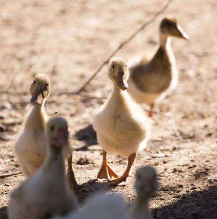 indo: Duck for a walk on the farm