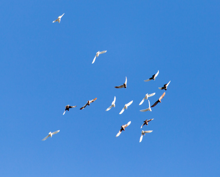 A flock of pigeons on a blue sky Stock Photo