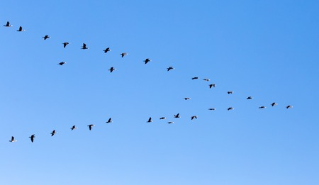 a flock of birds flying south in the blue sky Stock Photo
