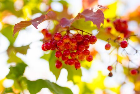 red viburnum berries on a tree branch
