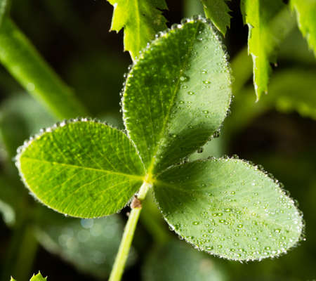 drop water: green clover leaves in drops of dew
