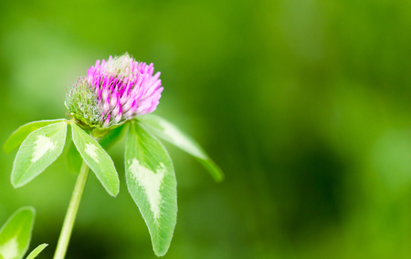 red clover: Beautiful flower on clover in nature