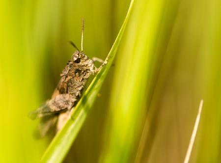 background: Grasshopper in green grass on nature