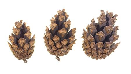 cedro: cono con árbol de coníferas sobre un fondo blanco