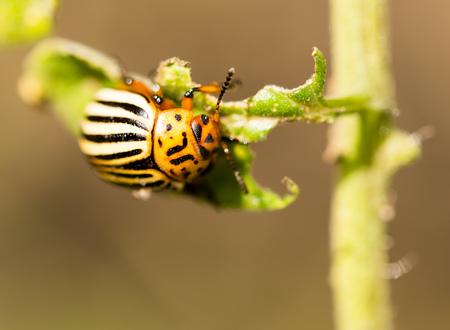 Colorado beetle on tomato in nature. macro Stock Photo