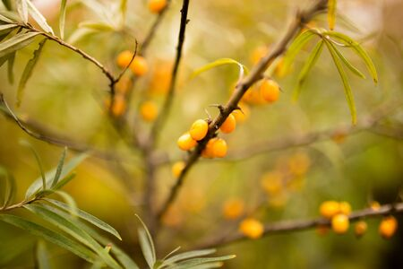 yellow berries of sea-buckthorn on a branch in the nature
