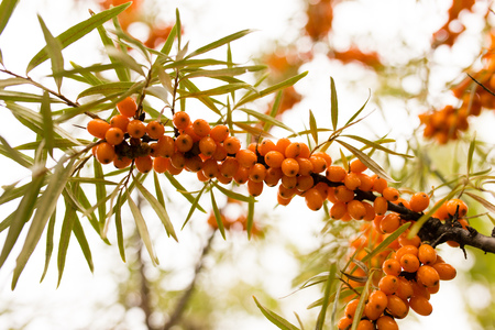 argousier: yellow berries of sea-buckthorn on a branch in the nature