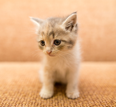 babies: portrait of a small kitten in the house